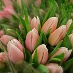Tulipes roses sur le stand d'un producteur à Rungis.