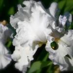 Iris blanc après l'averse.