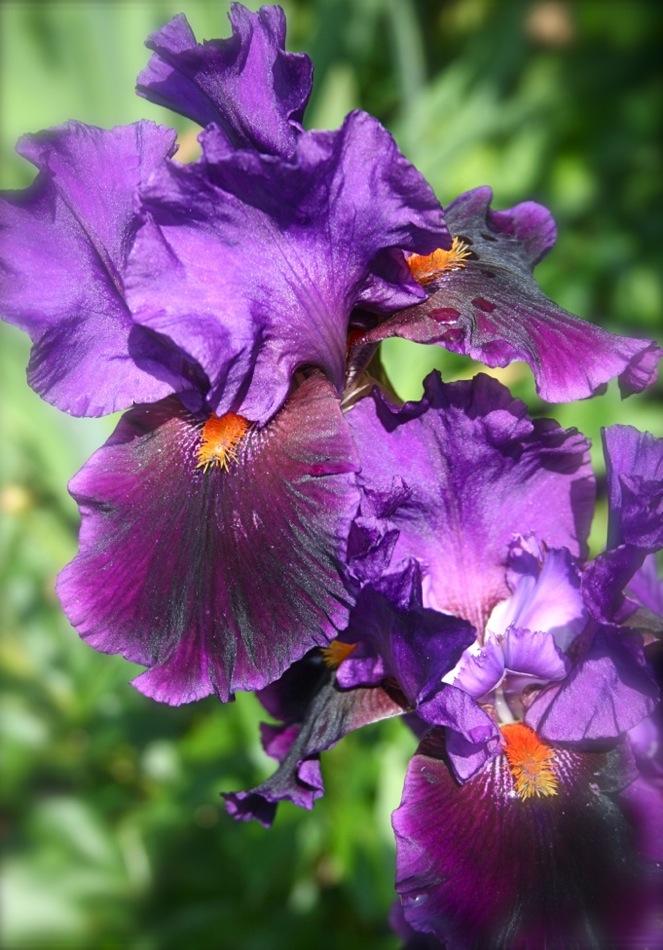 Gros iris violet foncé.
