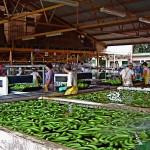 En 1899, le Costa Rica était le premier producteur de bananes du monde.
