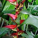Héliconia ou balisier, le genre comprend une centaine d'espèces.Les graines sont appréciées des perroquets.