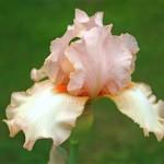 Les couleurs des iris sont variées et très délicates.