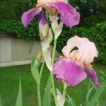 Iris bicolore à Auvers.
