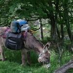 L'âne Gaspard broute au bord de la rivière pendant la pause déjeuner des randonneurs partis sur les traces de Stevenson..