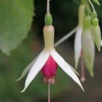 Le fuchsia présente des fleurs pendantes dans une magnifique gamme le couleurs.