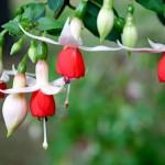 Fuchsia aux sépales blanc et pétales orange, variété Anita.