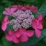 En  juin, les hydrangeas commencent à ouvrir leurs panicules de fleurs.