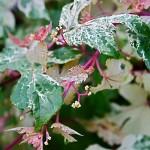 Ampelopsis brevinpedunculata elegans soit vulgairement, une variété de vigne vierge.