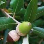 Des glands brun chocolat à maturité, le chêne liège est répandu en Espagne et sur le pourtour méditerranéen.