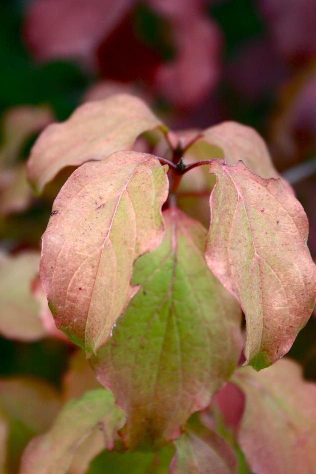 Cornus sanguinea, cornouiller commun d'europe dont les feuilles exposées au soleil deviennent rouges.