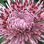 Les cultivars sont classés selon la forme et l'apparence du capitule .