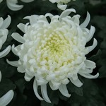 Au japon, le chrysanthème est le symbole de la famille impériale.