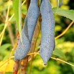 Decaisne, botaniste19è siècle a donné son nom à cette espèce originaire de Chine. L'attrait principal du Decaisnea fargesii sont les fruits charnus en forme de saucisses.