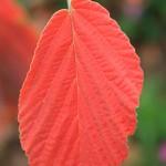 L' Hamamelis est apprécié pour ses fleurs parfumées paraissant en hiver sur des rameaux nus ainsi que pour le feuillage.