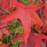 Le Liquidambar styraciflua présente un port superbe et des feuilles lobées rouges en automne. Il tire son nom de sa sève balsamique utilisée, entre autres, pour parfumer les savons.
