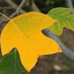 Les feuilles du Liriodendron chinense jaunisssent de façon intense en automne. Appelé aussi Tulipiers de Chine, ces arbres sont de croissance large et rapide.
