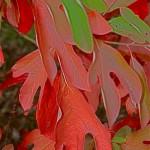 Le Sassafra albidum se pare en automne de tons de feu.De son écorce  est extrait le safrol. On sait à présent que ce produit est toxique.