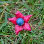Calice de Clerodendrum trichotomum : les fleurs émergent du calice rose qui, en mûrissant, devient charnu et abrite une baie bleue.