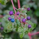Vigoureuse grimpante caduque, l'ampelopsis brevipedunculata est une variété de vigne vierge qui en automne porte des bouquets de baies.