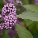 Originaire de chine et du Japon, le callicarpa dichotoma présente après ses fleurs de jolies grappes de petites baies violet pâle.