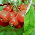 Dès l'entrée du jardin, les visiteurs sont accueillis par des pommiers d'ornements aux branches chargées de petits fruits rouge écarlate. Malus variété Red sentinel.