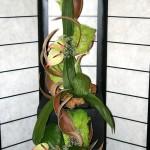 Feuilles de curculigo recurvata et petites coques avec des anthuriums et du gypsophile. Composition d' accueil de Madame Eudes