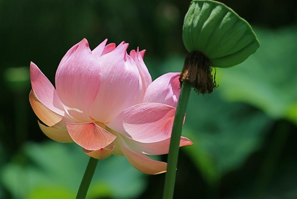 Ses grandes fleurs odorantes roses ou blanches se détachent du feuillage en large calice vert pâle.Cette espèce est originaire d' Asie et du nord australien