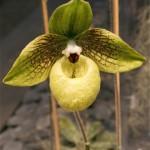 Paphiopedilum malipoense. Cette espèce appartient à un groupe découvert, il y a peu, dans des crevasses rocheuses de basse altitude du sud-ouest de la Chine. Sa fleur est légèrement odorante.