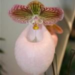 Paphiopedilum micranthum. Originaire du sud-est de la chine, c'est un sabot de Vénus à la floraison spectaculaire au printemps.