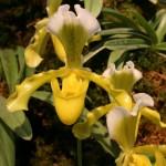 Paphiopedilum insigne : introduit en Europe dès 1820;ce sabot de Vénus a été le 1er du genre de la collection. Il y est cultivé depuis 1838. Cette espèce est à la base des hybridations modernes.