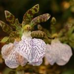 Zygopetalum maculatum : Pérou, Bolivie, Brésil. Fleurs à odeur de jacinthe.