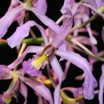 Schomburgkia superbiens : dédié au voyageur naturaliste prussien, Robert Schomburgk,ce genre vit en Amérique tropicale.