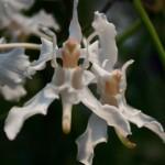 Papilionanthe vandarum : Inde, Birmanie,sud de la chine.Feuillage cylindrique, fleurs au parfum de lys.