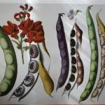 René Le Berryais (1722-1807)  a écrit un traité orné de 49 planches dessinées et enluminées. Il fut l'un des premiers agronomes qui décriront les diverses variétés d'une même espèce.