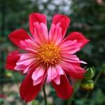 Dahlia rouge à collerette .