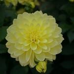 Dahlia nénuphar jaune pâle : Aztec Playa - IBC Pays Bas.