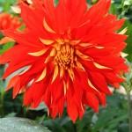 Dahlia décoratif rouge et revers oranges : Feu Follet - Ets Ernest Turc France.
