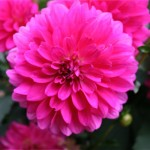 Dahlia décoratif nain rose : Aztec Sonora - IBC Pays Bas.