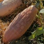 Courge Pink Jumbo Banana également photographiée au Potager du Roy.