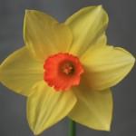Le nom du Narcisse provient du prénom d'un beau jeune homme qui selon la légende s'éprend de son image reflétée dans l'eau.