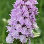 Au détour d'un sentier, on peut aussi reconnaître les orchidées. Rares et protégées de 20 à 80 cm de haut leurs épis de fleurs sont plus ou moins dense selon la variété.