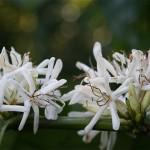 Fleurs de Coffea arabica.D'élégantes fleur blanc pur sont groupées à l'aisselle des feuilles suivies de petits fruits charnus qui virent au rouge vif à maturité. la plante est originaire d'Ethiopie.