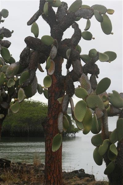 Opuntia galapageia gigantea sur  aux Galàpagos. Pouvant atteindre jusqu'à 8 m de haut, cette cactacée est considérée comme la plus grande au monde.