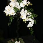 Au blanc immaculé des  fleurons d'orchidée Phalaenopsis blancs est opposé, à l'arrière de la composition, un jeu de boucles de cordyline noires.
