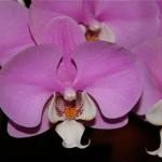 L'orchidée Phalaenopsis est épiphyte.Originaire d'Extrême Orient et l'une des plus faciles à faire refleurir.