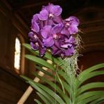 Cattleya skinneri : ce genre d'orchidée Cattleya est celui qui donne les plus grosses fleurs.