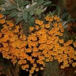 Le Dendrobium agregatum Grisby est épiphyte et apprécie de vivre en hauteur