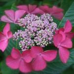 Les grosses inflorescences d'hortensias sont des corymbes.
