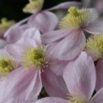 Clématites, dont l'abondante floraison est groupée en cymes.