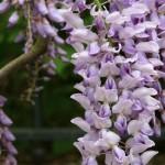 Grappe de glycine à fleurs mauves et odorantes.